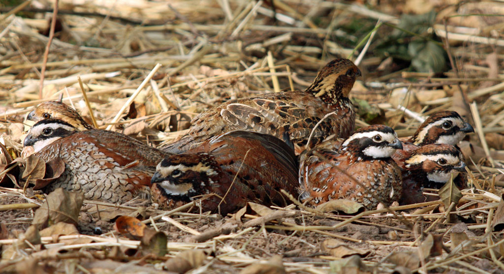 Bobwhite quail covey - photo#1
