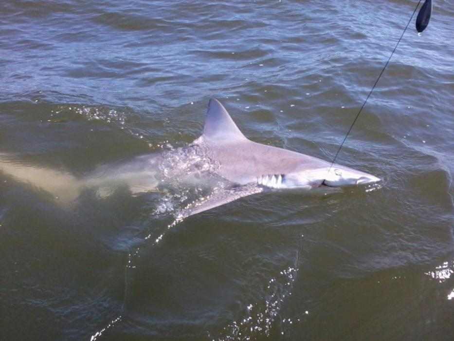 Fishing report delaware bay shark report with pic for Tidal fish chesapeake