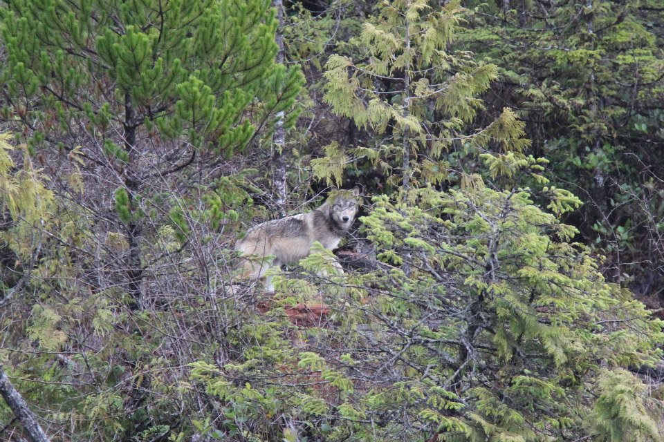 Click image for larger version.  Name:Ukee Wolf 2.jpg Views:89 Size:214.9 KB ID:189666